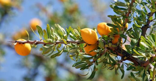 argan nut in tree